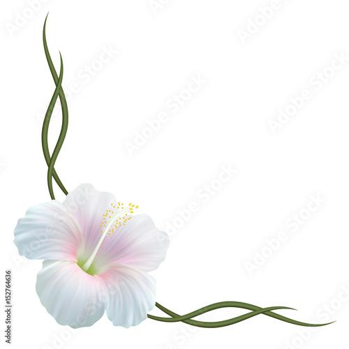 Реалистичный белый гибискус, китайская роза, уголок.