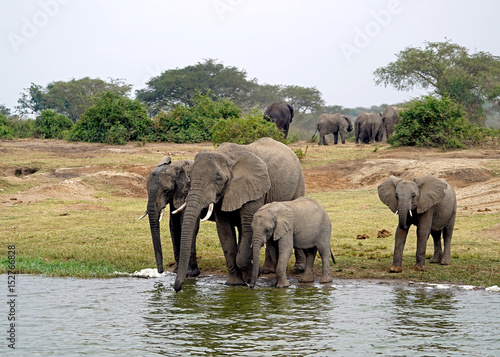 Elephants in Kazinga Channel, Uganda Poster