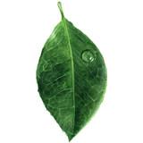 Green leaf - 152794423