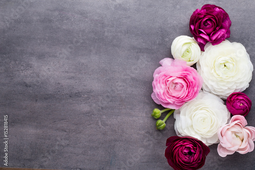 Beautiful colored ranunculus flowers on a gray background. - 152818415
