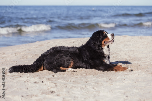 bernese mountain dog lying at sunny sea beach