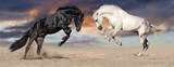 Two beautiful horse portrait in motion rearing up against sunset sky in desert dust. Black and white horses banner for website - 152951003