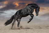 Black horse stallion play and jump in desert dust - 152951282