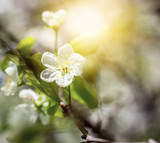 Flowering of bird cherry tree, outdoor, natural light. Beautiful fresh natural soft background