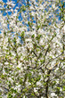 Wild plum in blossoms.