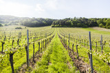 green vineyards rows in spring time