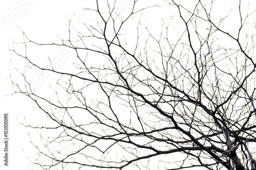 Fototapeta tree branch silhouette photography , white background