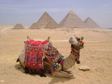camel in front of pyramids, Giza