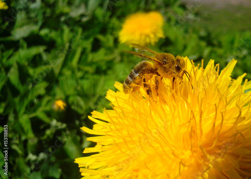 Bee collects nectar on a yellow dandelion flower, nature, macro