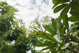 Plumeria flower white background blurred