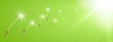 Fliegende Pusteblume Flugschirme vor sonnigem Hintergrund - Grün