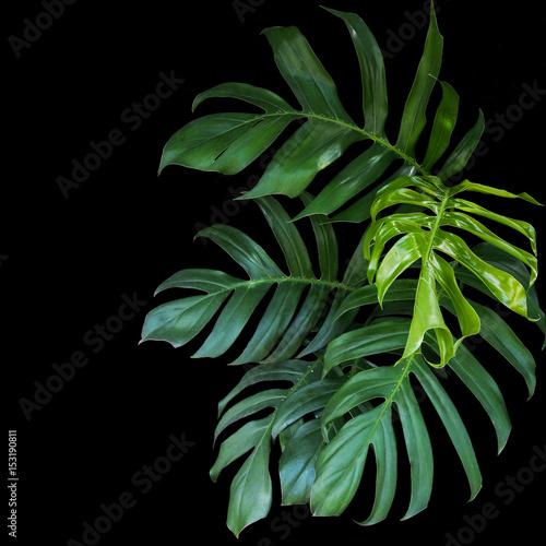 Zieleni liście Monstera Philodendron rośliny dorośnięcie w dzikim tropikalna lasowa roślina, wiecznozielony winograd na czarnym tle.