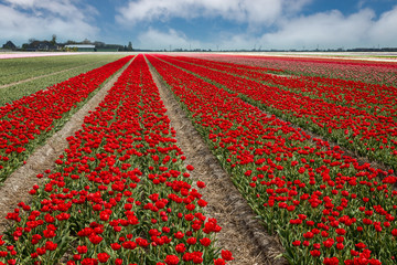 Beautiful red tulip fields in spring, Netherlands, Holland