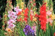 gladioli gladiolus flower growing spring summer, Gladiolus is a genus of perennial cormous flowering plants in the iris family. also called the 'sword lily'