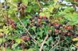 blackberry blackberries  bush wild growing ripening on bramble bush ripe and unripe