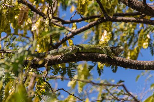 Poster Leguan auf Baum