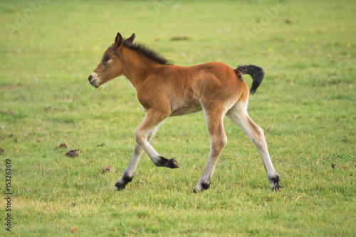 Foal running on the meadow © herraez