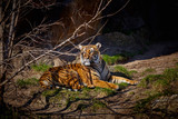 Cute tiger. Tiger in beautiful evening sun
