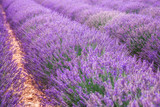 Bright and gentle lavender field in the summer Provence