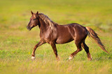 Red horse with blond long mane trotting in green spring field - 153393450