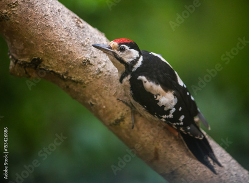 Stampa su Tela Greater Spotted Woodpecker