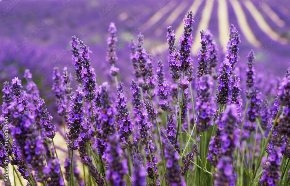 K chenr ckwand aus glas mit foto very nice view of the lavender fields provence lavender field - Kuchenruckwand lavendel ...