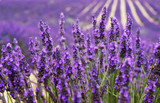 Fototapeta Lawenda - Very nice view of the lavender fields.Provence, Lavender field.Lavender flower field, image for natural background. © Natallia