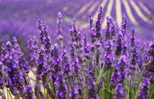 Very nice view of the lavender fields.Provence, Lavender field.Lavender flower field, image for natural background.