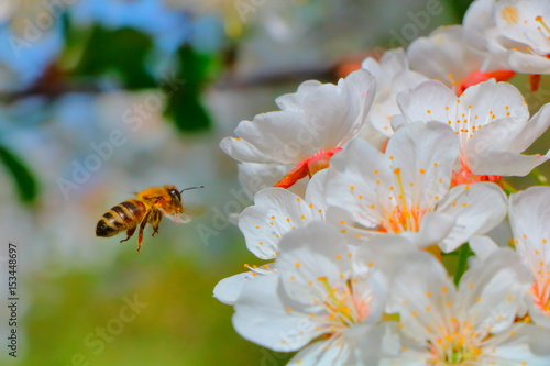 Bee collecting nectar on cherry blossoms.