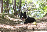 A border collie puppy relaxing with the ball, in the woods. - 153461870