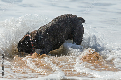 French bulldog playing in the ocean