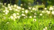 Spring grass meadow with white dandelions. Green nature background. 3840X2160 4K UHD video