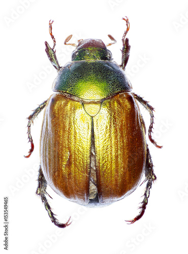 Vine Chafer on white Background  -  Anomala vitis (Fabricius 1775) Poster
