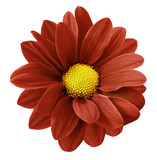 Red gerbera flower. White isolated background with clipping path. Closeup. no shadows. For design. Nature.