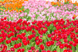 Colorful red Tulip flower field for background or nature postcard.