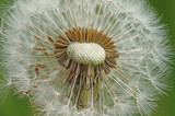 Dandelion fades in the spring and its seeds are carried by the wind
