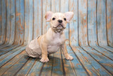 French Bulldog on blue wooden background