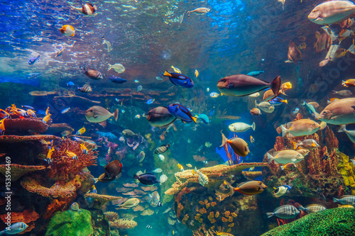 Fotoobraz na płótnie Shoal group of many red yellow tropical fishes in blue water with coral reef, colorful underwater world, copyspace for text, background wallpaper
