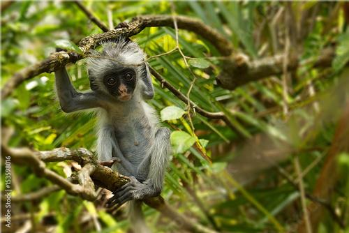 Fotobehang Zanzibar Young red colobus monkey in Jozani forest national park, Zanzibar, Tanzania