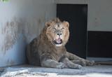 Ruhender asiatischer Löwe im Tierpark