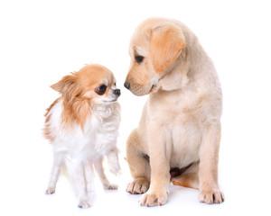 puppy labrador retriever and chihuahua