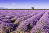 Harvesting lavender for cosmetics industry