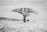 Baobab Tree on the Plains of the Serengeti in Northern Tanzania