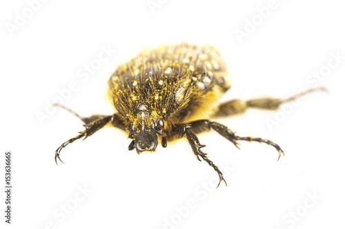 Beetle (Oxythyrea funesta) on a white background Poster