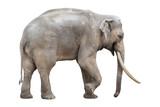 Large male elephant isolated on white - 153706807