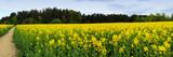 Panoramic image of blooming yellow fields before the rain