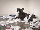 Funny dog made a mess in the room. Playful puppy French bulldog - 153783210