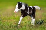 Beautiful piebald pony foal  run fast in green pasture - 153795602