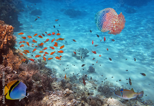 Pinturas sobre lienzo Coral Reef and Jellyfish in the Red Sea, Egypt