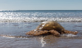 Méduse échouée sur une plage